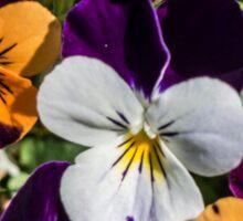 Violas Sticker