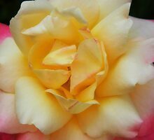 The beauty of the rose soft yet fragile! by Maria Mizzi