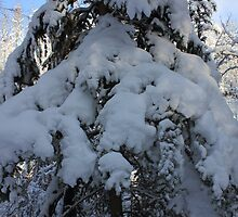 Snow-laden Evergreen Tree by Jim Sauchyn