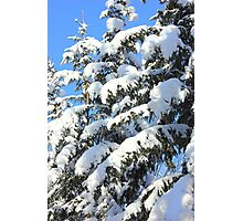 Snow on Evergreens Photographic Print