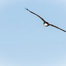 American Bald Eagle 2015-23 by Thomas Young