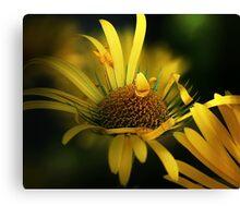 Yellow daisies macro Canvas Print