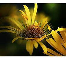 Yellow daisies macro Photographic Print