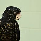 Red-Tailed Black Cockatoo by Sea-Change