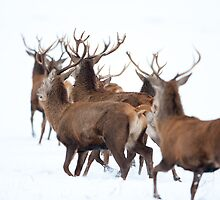 Red Deer by DamianK