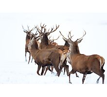 Red Deer Photographic Print