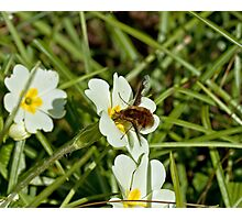 Common Bee Fly Photographic Print