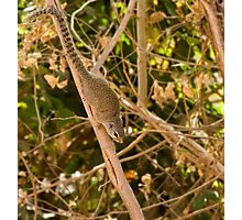 Gambian Sun Squirrel Photographic Print