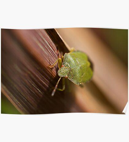 Green Shield Bug on leaf Poster