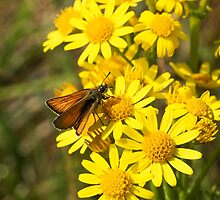 Small Skipper butterfly by Sue Robinson
