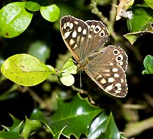 Speckled Wood butterfly by Sue Robinson