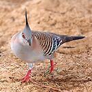 Crested Pigeon by Robert Elliott