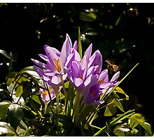 Crocuses and Bee Photographic Print