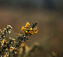 Gorse Flowers by Sue Robinson