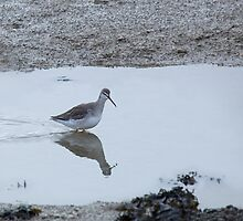 Spotted Redshank by Sue Robinson