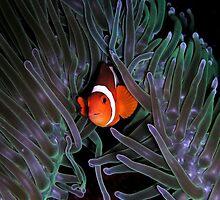 Clown Fish iPhone Case by Jnhamilt