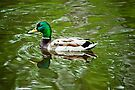 Swimming Mallard by April Koehler