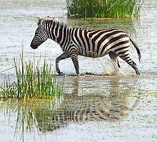 Solo Zebra Crossing, Amboseli, Kenya by Carole-Anne