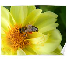 A bee at work in my own backyard! Poster