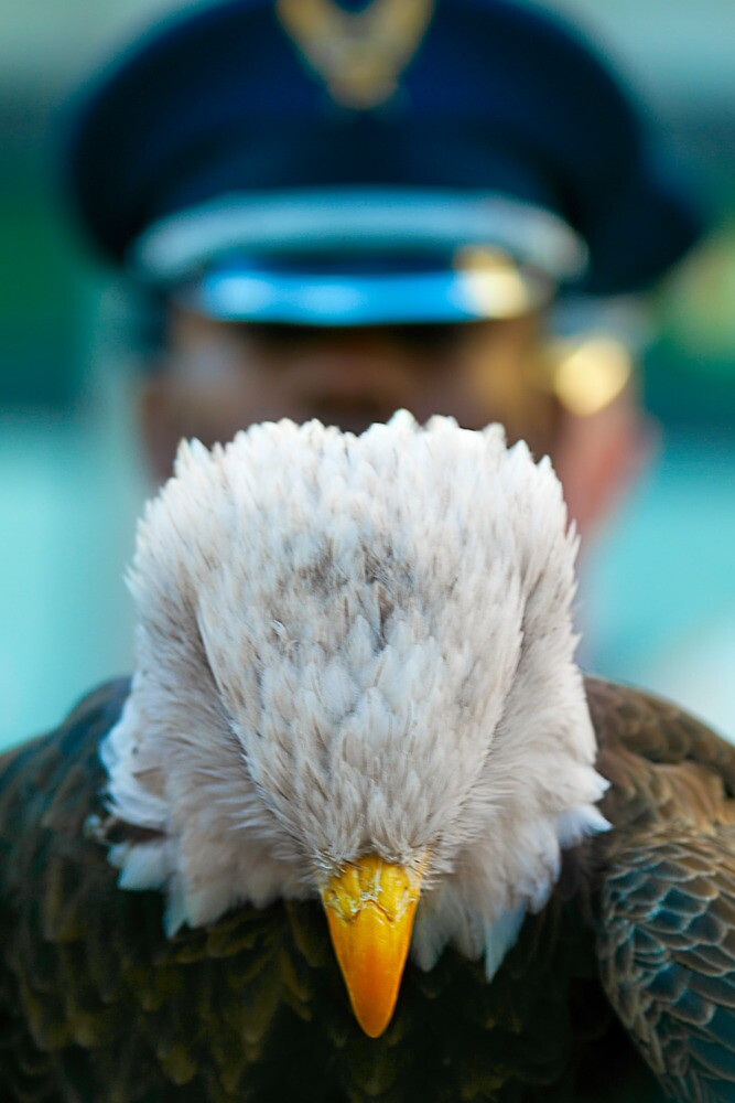 Eagle paying respects on Veterans Day by alan shapiro