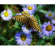 Bufferfly on purple flower Photographic Print