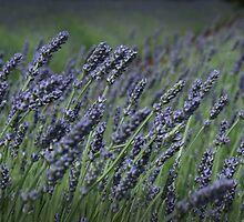 Lavender Fields by Susan Segal