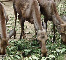 Reindeers - malnourished by Natas