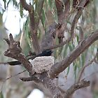 Willy Wagtail in nest by Peter Smith