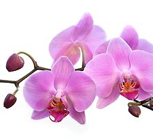 Orchid Flowers - Pink by Natalie Kinnear