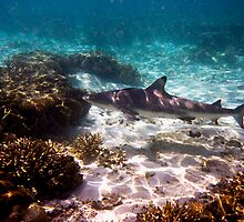 Black Tip Reef Shark - Lady Elliot Island by Jaxybelle