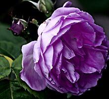 """Grandma's Rose..."" by Rosehaven"