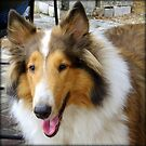 Collie by AuntDot