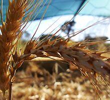 66/365 grain by LouJay