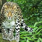 In the Sights of the Amur Leopard by Mark Hughes