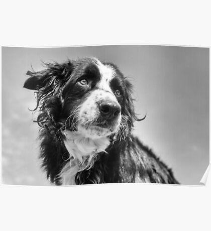 Dog in black & white Poster