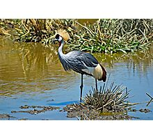 Gray Crowned Crane in Ngorongoro Crater Photographic Print