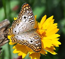 White Peacock Butterfly On A Yellow Flower by Kathy Baccari