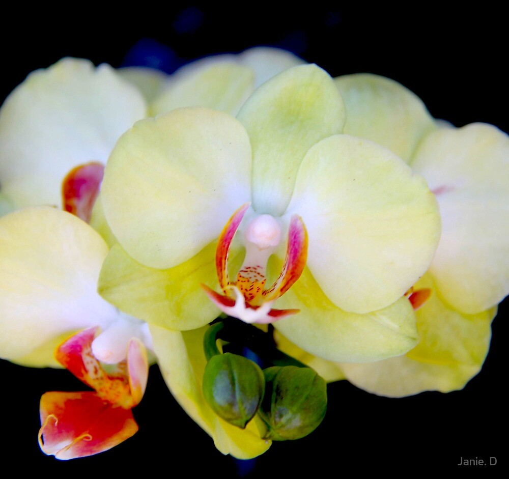 Orchid by Janie. D