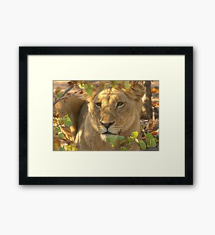 Lioness on the lookout Framed Print
