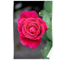 Prince William Rose Poster