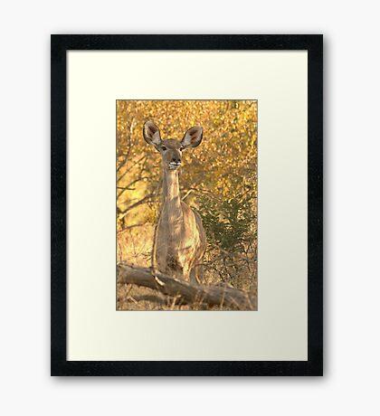 Kudu in the bushes Framed Print