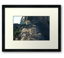 Leopard on a rock Framed Print