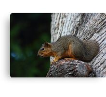 California Grey Squirrel Canvas Print