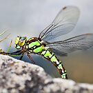 Dragonfly by Ellesscee