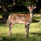 Red Deer, Grampians National Park by annibels