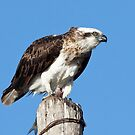 Osprey ~ Table for One by Robert Elliott