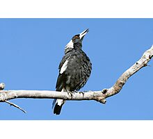 Australian (black-backed) Magpie ~ Singing My Song  Photographic Print