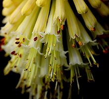 Yellow Red Hot Poker 1 by MadMikkie