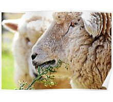 Head shot of sheep in New Zealand  Poster