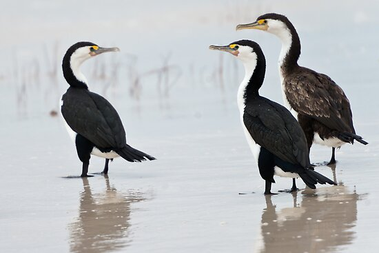 Three Cormorants by Werner Padarin